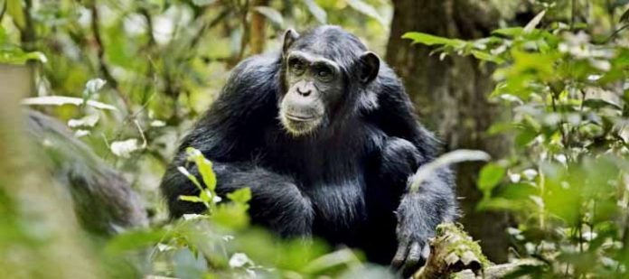 Chimpanzee in Kibale